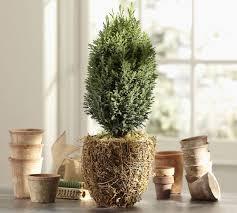 live cypress tree in moss pot pottery barn