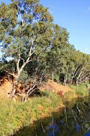 eucalyptus trees along steep river bank linear park adelaide