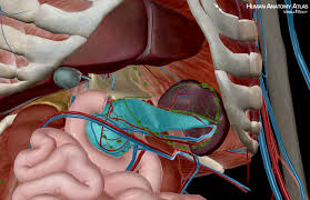 Images Of Human Anatomy And Physiology Anatomy And Physiology The 5 Unsung Heroes Of The Abdominal Cavity