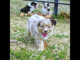 australian shepherd puppies 7 weeks 8 week old mini aussie puppies playing 2013 youtube