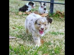 australian shepherd size at 8 weeks 8 week old mini aussie puppies playing 2013 youtube