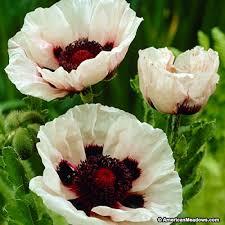 poppy perry s white papaver orientale poppy