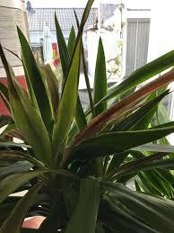 Yucca Wohnzimmer Palmlilie Yucca Palme Yucca Filamentosa Günstig Online Kaufen