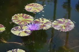 fort pond native plants mckee botanical garden u2013 of ponds and water lilies u2013 south florida