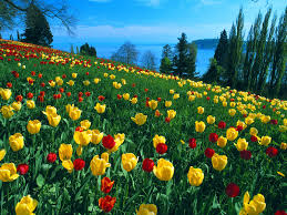 Tulip Field Tulip Field You Are Viewing The Flowers Wallpaper Named Field Of