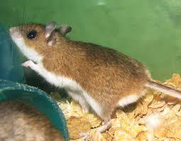 Are Mice Blind Peromyscus Maniculatus Wikipedia