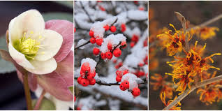 plants that bloom in winter flowers that develop in the cold