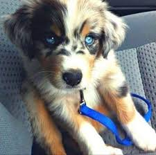 australian shepherd husky puppy 13 best dogs images on pinterest animals blue eyes and puppies