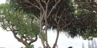 hawaiian trees teardrop adventures