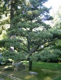 backyard garden with boulders and japanese black pine tree