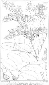 angiosperm families leguminosae caesalpinioideae kunth