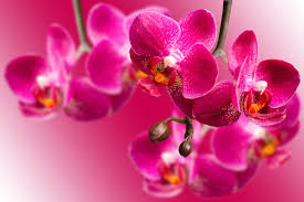 pink orchids orchid flower meaning flower meaning
