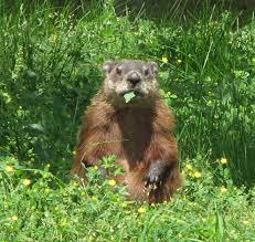 groundhog reflect winter preparedness