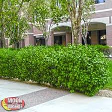 Real Topiary Trees For Sale - hedge plants moon valley nurseries