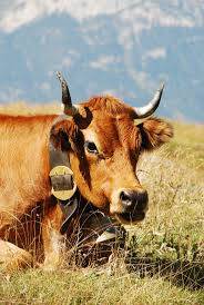1050 best cows images on pinterest baby cows baby farm animals