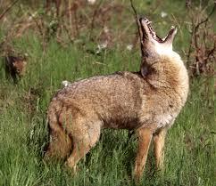 Washington wildlife images Coyotes living with wildlife washington department of fish jpg