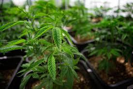 Car Bill Of Sale Massachusetts by Recreational Marijuana In Mass U2014 The Legal Do U0027s And Don U0027ts To