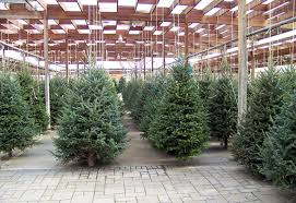 columnar spruce everything you need to about