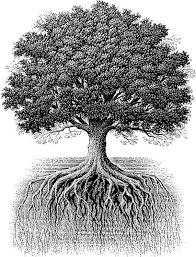 oak tree and roots jpg 571 750 bw oak tree