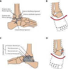 Lateral Collateral Ligament Ankle Structural And Functional Features Of Major Synovial Joints And
