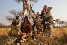is captive lion hunting really helping to save the species