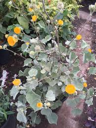 native california plants abutilon palmeri indian mallow native to low deserts of western