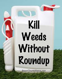 kill weeds without using roundup bermuda grass grasses and natural