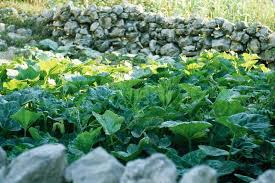 Rock Vegetable Garden Vegetable Garden Surrounded By Low Rock Wall Stock Photo Colourbox
