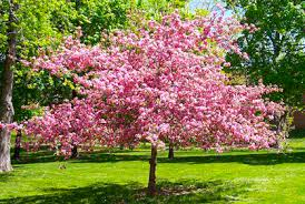 best types of cherry trees for landscaping photos ide