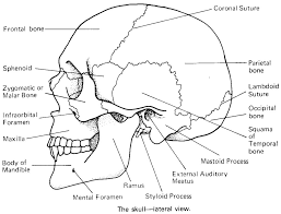 printable flashcard on cranial bones in detail free flash cards