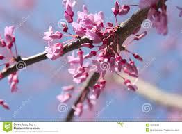 redbud tree blooms stock photo image 15979290