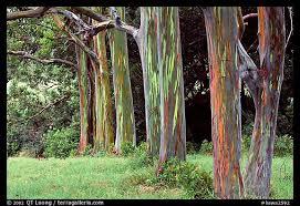 Rainbow Eucalyptus My New Eucalyptus Deglupta Rainbow Eucalyptus