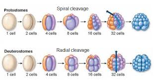 what is the differnece between a spiral and regular perm what differences distinguish protostomes from deuterostomes quora