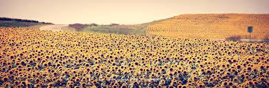 download sunflower field kansas homesalaska co