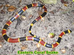Found A Snake In My Backyard Coral Snake Information U0026 Facts