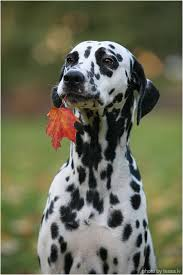 dalmation tessa lv doggies dalmatian doggies