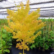 bihou japanese maple tree for sale fast growing trees com