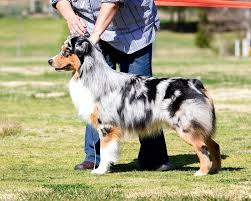 australian shepherd in california dogbreedz photo keywords 101 dog show photos california