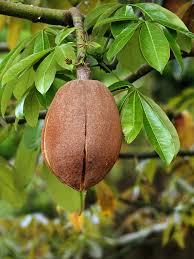 file pachira aquatica fruit edit1 jpg wikipedia