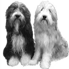 bearded collie mdr1 the uk bearded collie website view topic lungworm milbemax mdr1