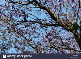 Tree With Purple Flowers Purple Flowers Of The Jacaranda Tree In Bloom Mexico City Stock