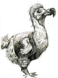 dodo birds bird and illustrations