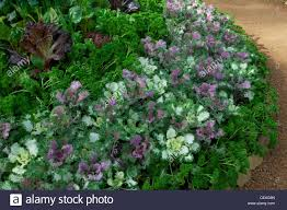 circular bed of ornamental cabbage parsley lettuce and leafy