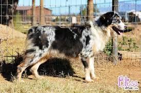 w lazy j australian shepherds mott ranch australian shepherd bliss blue merle female