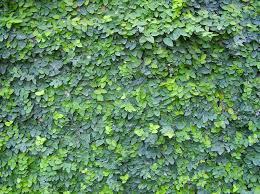 plant climbers of the month boston ivy u0026 ficus jenny smith