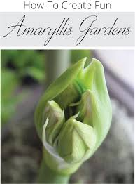 how to plant an indoor amaryllis garden longfield gardens