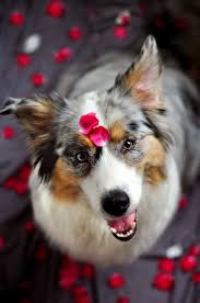 australian shepherd crufts 2015 24 best australian shepherds images on pinterest animals