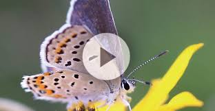 why and for how do butterflies stay in a cocoon
