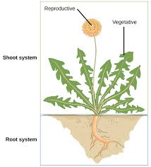 the plant body boundless biology