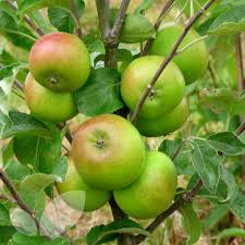 Online Fruit Trees For Sale - apple pixie fruit trees for sale buy online